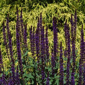 20 Deer Resistant Perennials They Re Gorgeous Too Salvia Plants