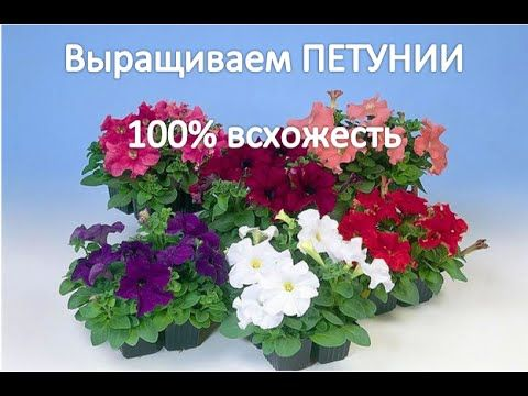 Выращиваем рассаду ПЕТУНИИ (100% всхожесть).САД и ОГОРОД