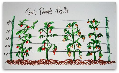 Love this idea!!  My tomatoes always out grow my cages!  This article suggest using foam twist ties or garden tape to secure toms to trelis.  Old pantyhose, cut into strips also works well.  They stretch and don't cut into your plants.