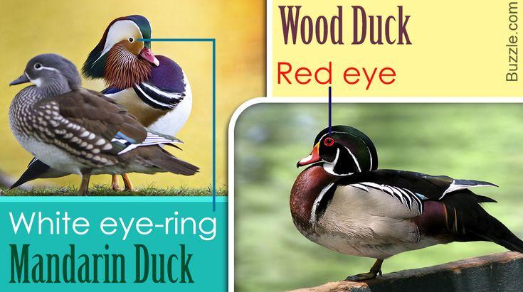 Duck Identification Guide