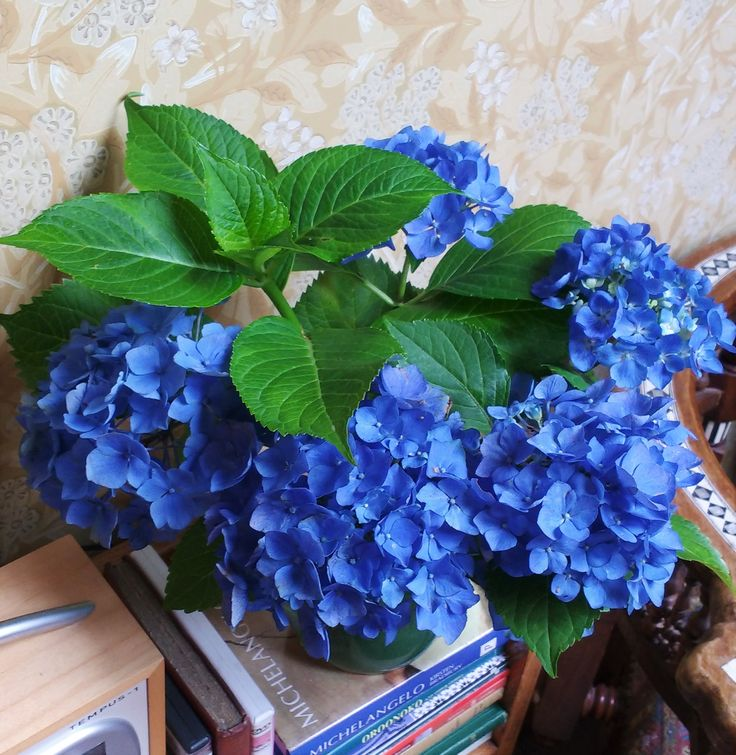 hydrangeas are forever my favourites