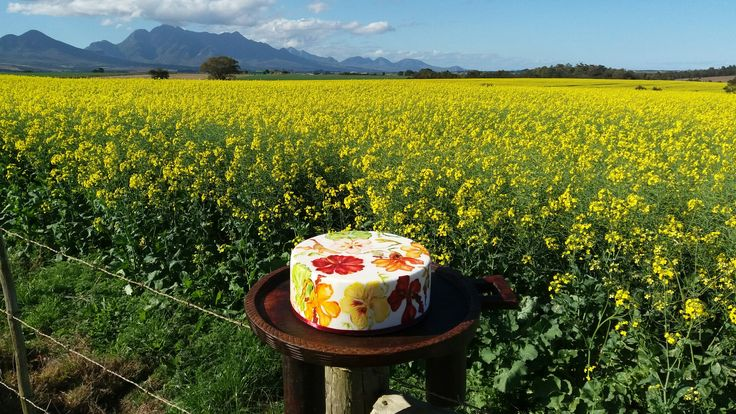 Nasturtiums painted on cake in a canola field