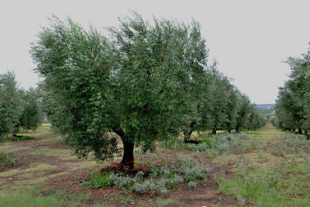 Olivenhain im Landesinneren von Chalkidiki