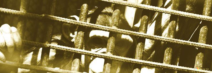 Foto gratis Una scimmia in gabbia da http://it.torange.biz/4567.html  #Animale #Divertimento #Città #Illustrazione #Natura #Legge #kyiv #Ucraina #Infanzia