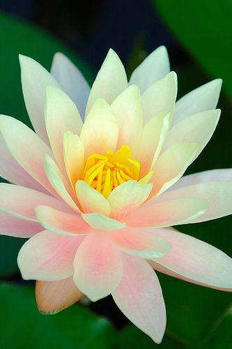 """it is a waterlily (Nymphaea alba). Lotus have the leaves above the water, and waterlilies have the leaves in contact with the water. Also the lotus flowers have a big pad in the center, and fluted petals."""" description via https://www.pinterest.com/criticinsatiabl"""