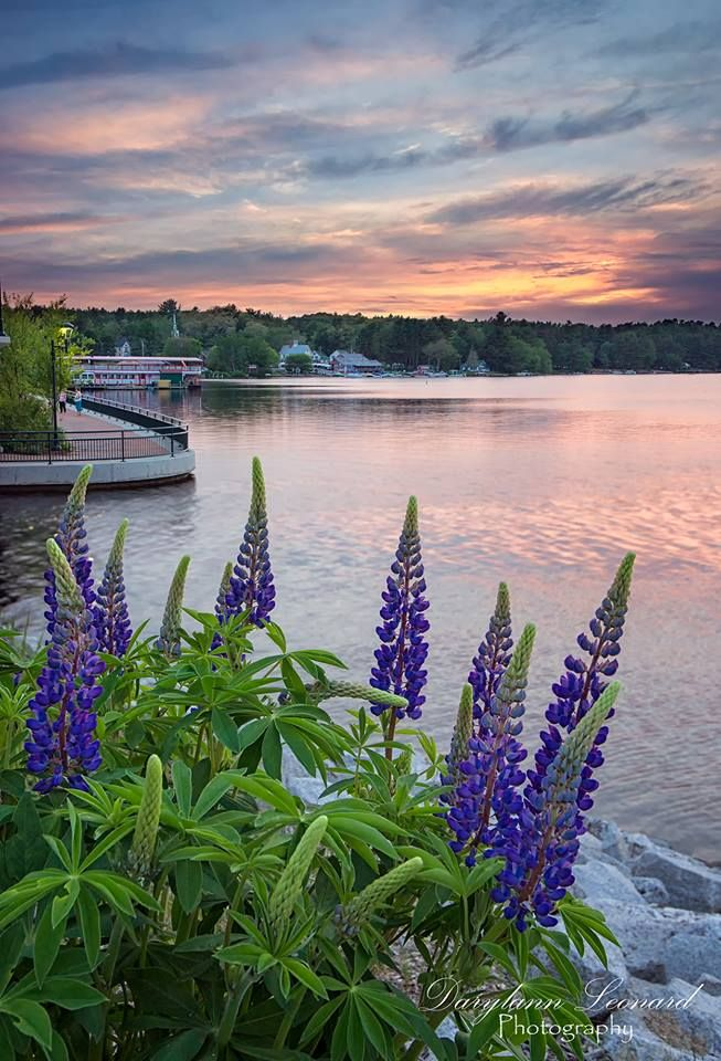 Here's a shot captured in Naples, #Maine . Who else loves Lupines?  Photo by Darylann Leonard Photography