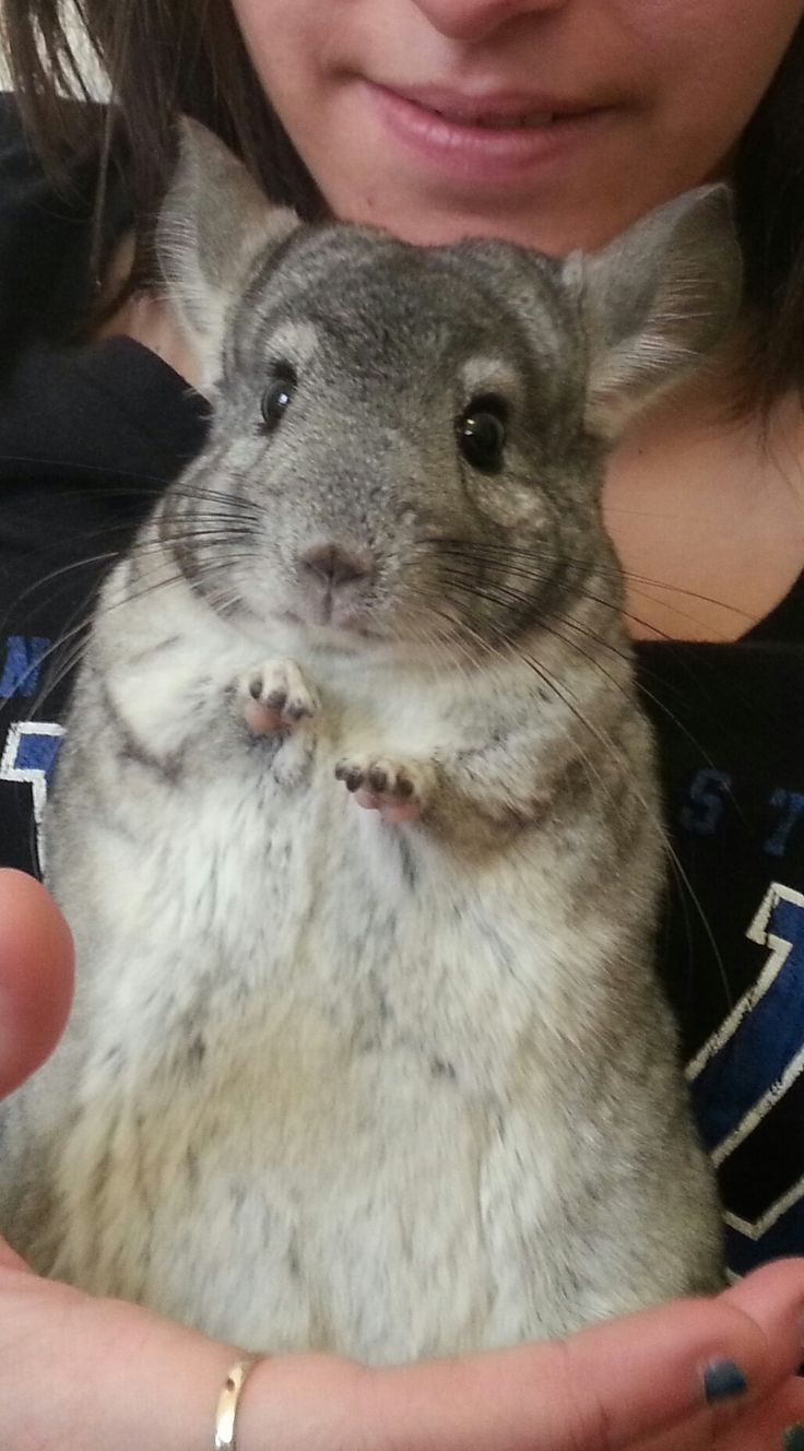Chinchillas' teeth grow constantly. They need to eat lots of hay, which is abrasive, to help wear their teeth down. More chinchilla facts at URL: http://chinchilla.co/ Fb fanpage: https://www.facebook.com/LoveChinchilla