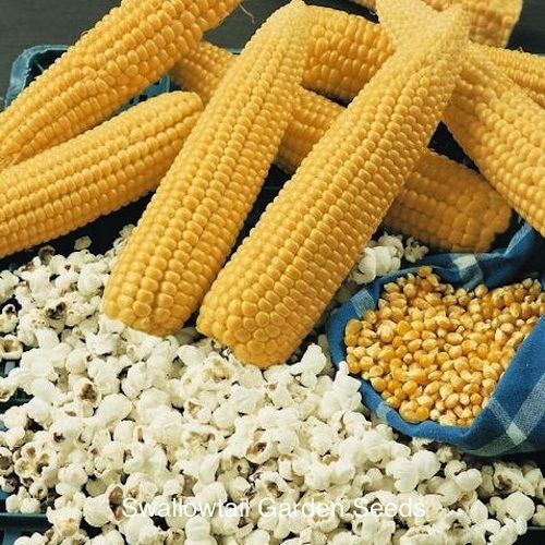 Robust Hybrid Popcorn - High yielding plants with 7-8 inch long double ears and glossy yellow kernels, produce extra large and extremely tender, gourmet quality flakes. Grows 8-9 feet tall.
