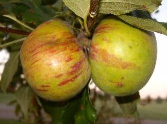 Growing a Home Orchard for Self Sufficiency