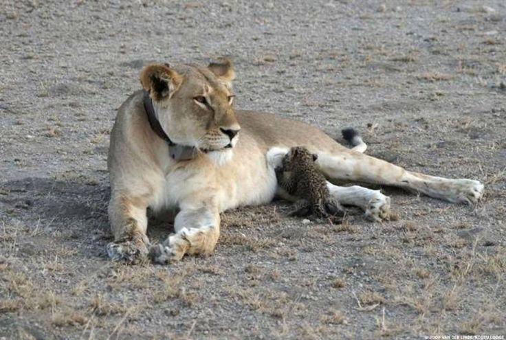 5歳のメスライオンが、生後数週のヒョウの子どもに授乳する光景が目撃された。ライオンは通常、ヒョウの子どもを本能的に殺す。だがこの事例では、メスライオンの母性本能が攻撃本能を上回った可能性がある。