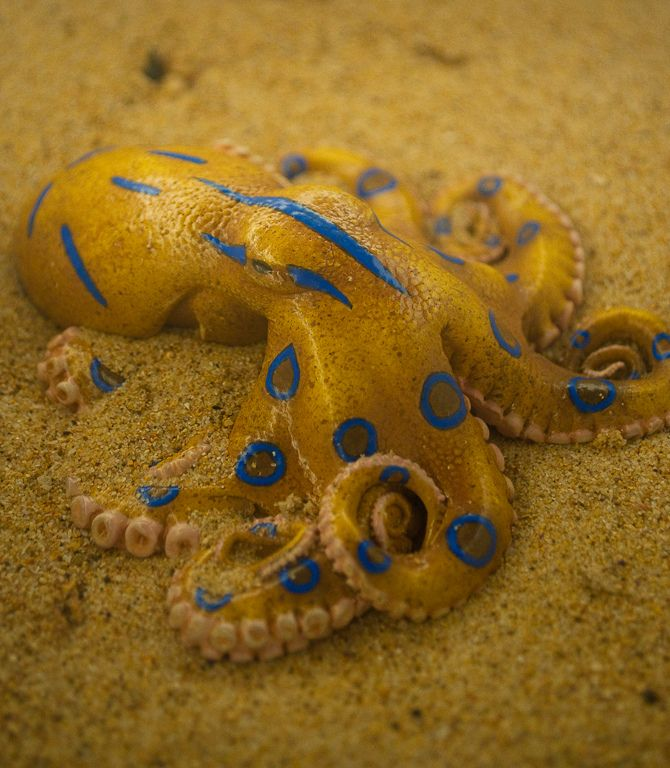 blue ring octopus More