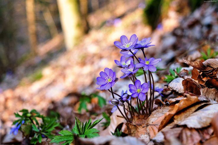 Niebieskie, przylaszczki, Las, Liście, Drzewa, Wiosna