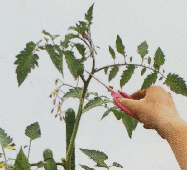大玉トマトの育て方 プランターで栽培できる方法 2020 画像あり