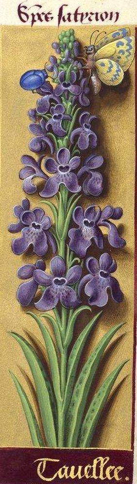 Tavellee - Species satyrion (Orchis mascula L. = orchis mâle. Cette espèce est dite tavellée à cause des taches que présente son labelle) -- Grandes Heures d'Anne de Bretagne, BNF, Ms Latin 9474, 1503-1508, f°162r