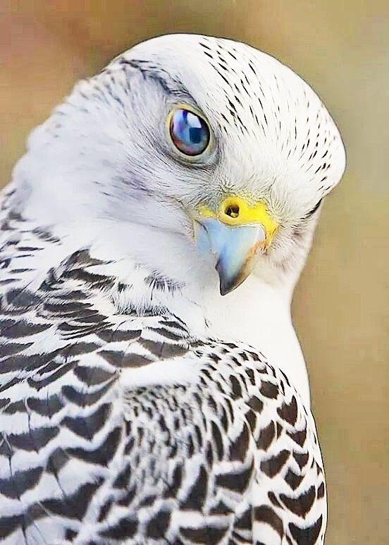 pinterest ↟ falconidae rapace diurne faucon oiseau bird