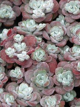 "Sedum 'Harvest Moon', 4""-8"": Yellow Flowers, Harvest Moon, Colors Combos, Rocks Gardens, Sedum Harvest, Purple Succulents, Bluestone Perennials, Sunny Yellow, Sedum Spathulifolium"