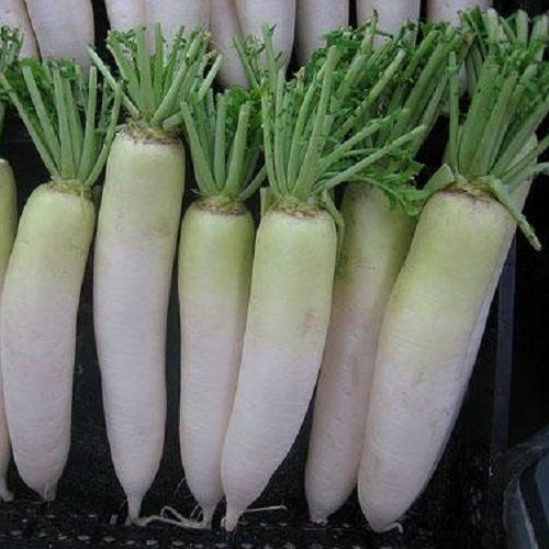 100 Seeds of Raphanus Sativus  Chinese Daikon Radish Oshin  60 Days Green Neck Type Reaching 2 Lbs >>> Check out the image by visiting the link.(This is an Amazon affiliate link and I receive a commission for the sales)