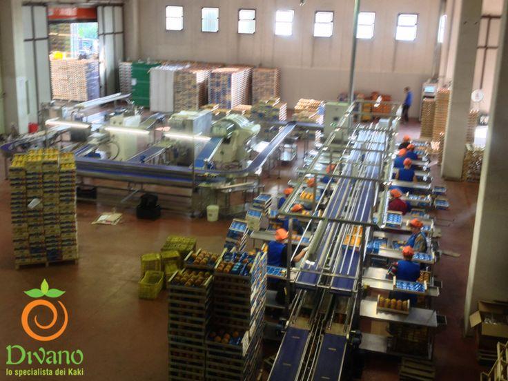 Lo stabilimento della società agricola Divano S.r.l. in funzione con la linea di confezionamento lali attiva. #Kaki #Persimmon #cachi