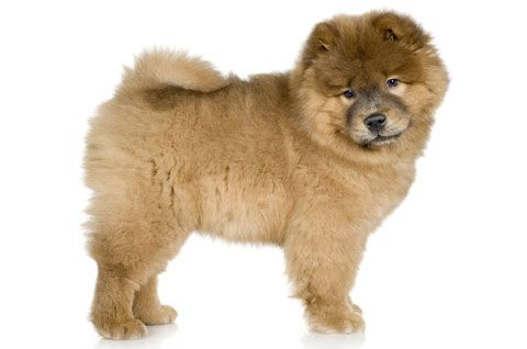 Best Dry Dog Food For Chow Chows
