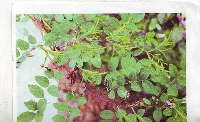 Telugu Neeli Chettu English Indigo Plant Hindi Neel Sanskrit Neelini 1 Pippi Panti Purugulaku For Tooth Worms Neeli Ch Indigo Plant Plants Indigo