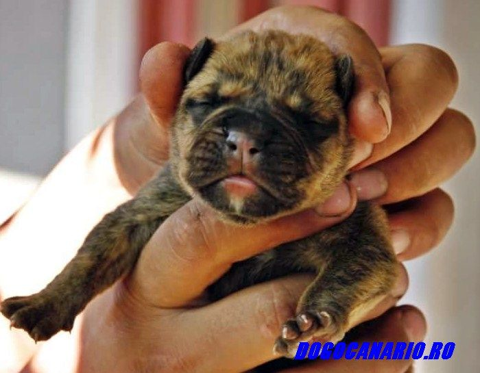 Gianfranco of s.s.dinasty kennel presa canario for sale