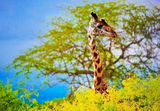 Indrukwekkend safari-avontuur in Kenia, incl. ontbijt, diverse maaltijden, vluchten, privétransfers