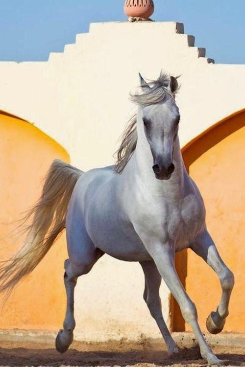Andalusian Spanish Horse, ph.cr.via Rosalia Casas - thru Michael Allen's photo on Google+