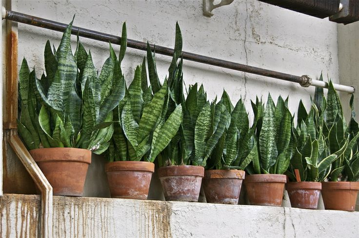 Contest picture by Schpatze, snake plants, Mother-in-laws tongue. Yes, tongues will be wagging. These also look nice used as the spikes in container plants. Actually:Sansevieria!