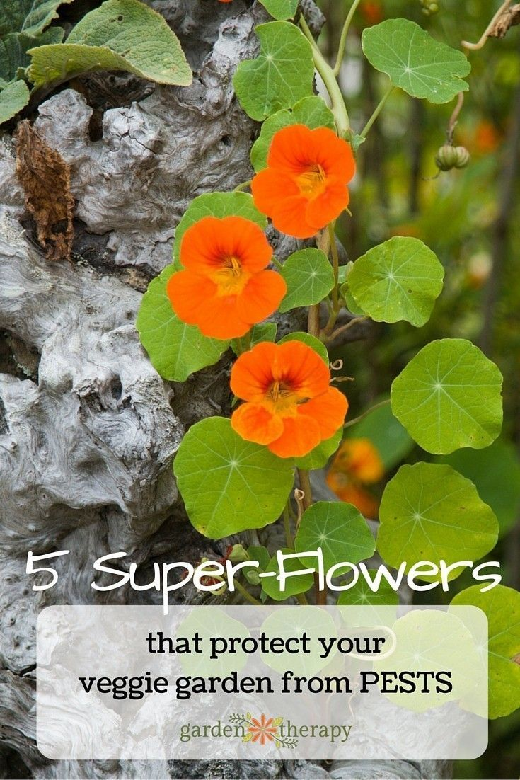 Did you know that flowers have super powers? Some stop nematodes in their tracks. Others attract aphids away from your veggies.