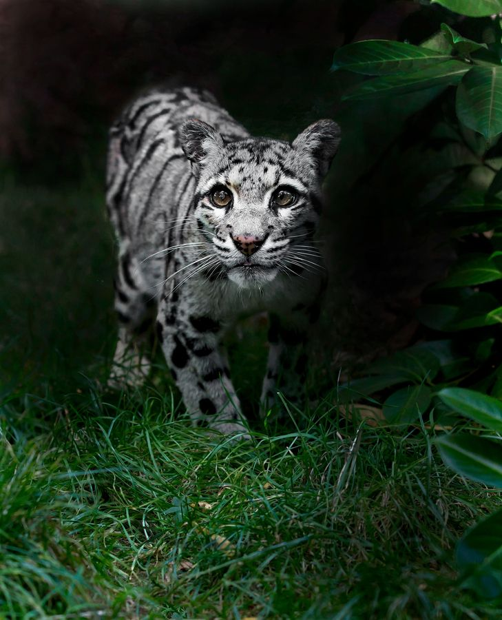 This is one of the Clouded Leopards I captured from the WHF in Kent. Their eyes are absolutely amazing this is a grey coloured one! They too could get their substantial sized paws through the bars! This piece is inspired by the lovely Ashley Vincent, whose deep admiration for these cats shines through in his work!