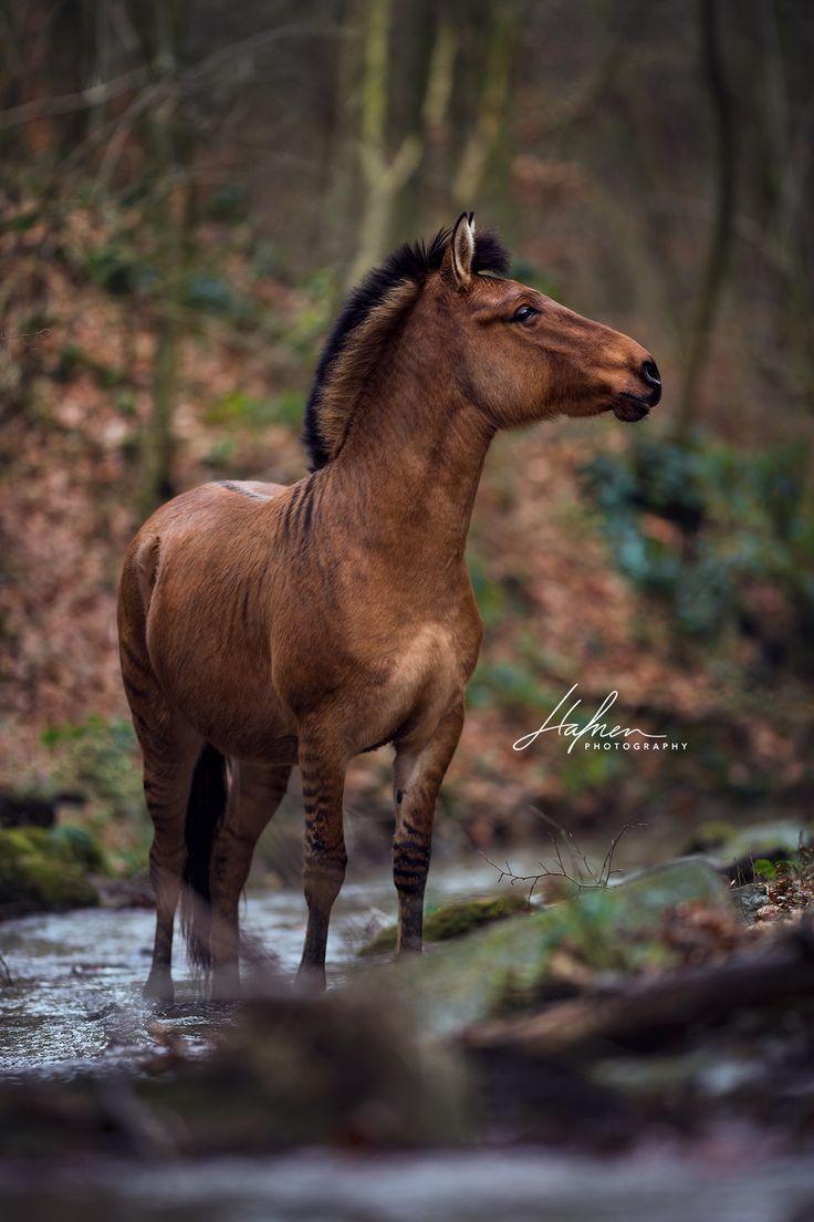 Zorse steht im Herbst im Wald | Zebra | Hybriet | Wasser | Bilder | Foto | Fotografie | Fotoshooting | Pferdefotografie | Pferdefotograf | Ideen | Ins…