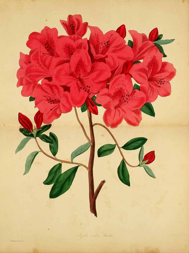 F.W. Smith | Rhododendron indicum