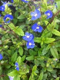 Speedwell Plant Care - Tips For Growing Speedwell Flowers