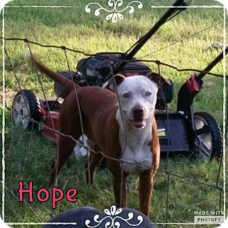 Rowlett, TX - American Pit Bull Terrier Mix. Meet Hope, a dog for adoption. http://www.adoptapet.com/pet/16522505-rowlett-texas-american-pit-bull-terrier-mix