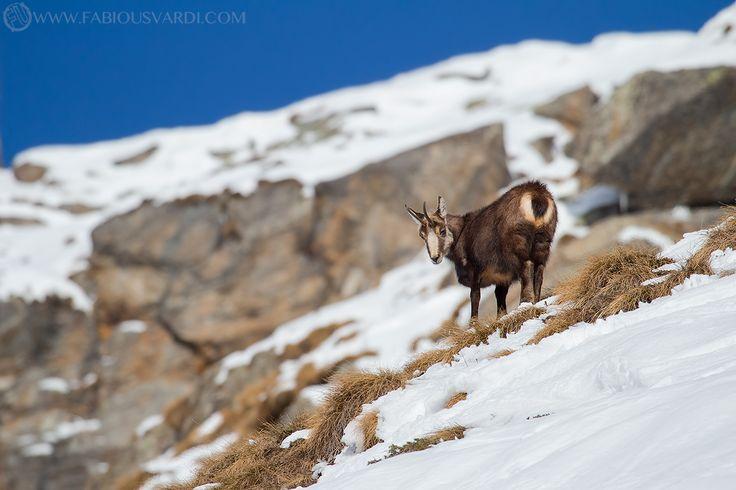 Rupicapra rupicapra (Camoscio alpino) www.italianwildlife.it #italianwildlife #italian wildlife