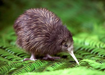 Baby kiwi bird! A little puffball with a beak, some eyes and a couple of little legs.