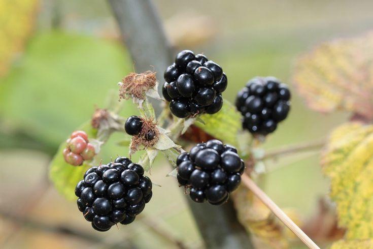 Ostružiny, Bobule, Berry, Ovoce, Rostlin, Černá, Plody