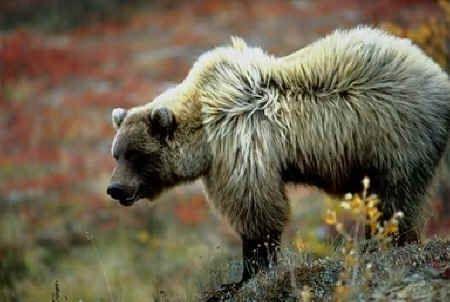 Bear Facts - Species - Brown Bear