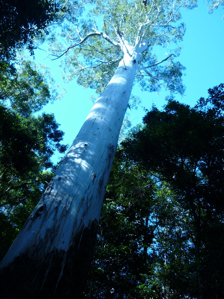 The tallest Tree in the Bruxner Park Rainforest, Coffs Harbour NSW  Sadly this tree was blown down a few years ago.