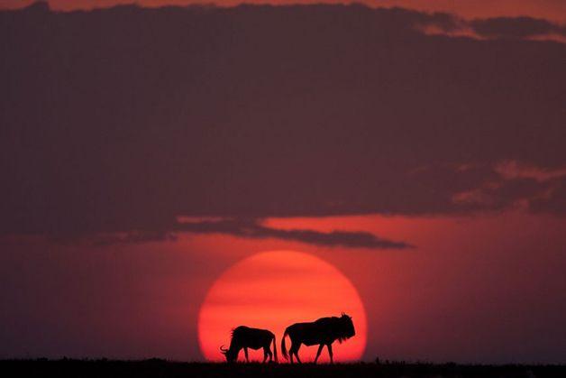 Paul Goldstein passou anos tentando capturar o momento perfeito no início e no final do dia em Masai Mara, um dos mais famosos parques nacionais do Quênia, no sudeste africano.