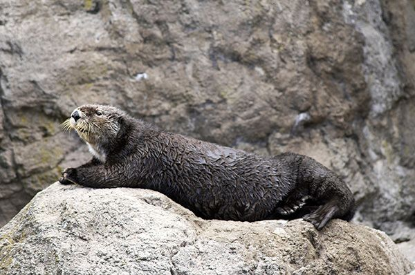 Sea otter Tazo lounges on a rock - November 16, 2014