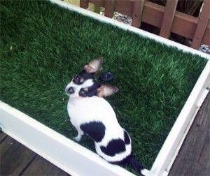 how to potty train a one year old chihuahua