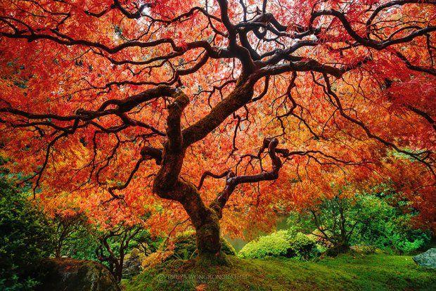 Klon japoński Fot. Pete Wongkongkathep