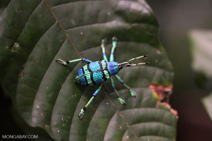Schoenherr's blue weevil (Eupholus schoenherri – Curculionidae family), a spectacular blue and turquoise beetle from New Guinea