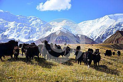 Yaks at Lenin Peak basecamp, Kyrgyzystan Pamir mountains