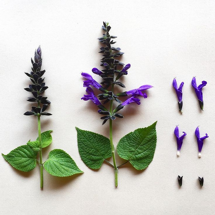 S A L V I A . guarantitica 'Black and Blue' deconstructed #botanicaldeconstruction #botanicalstudy #anisesage #sage #blackandblue #zimbabwe #hondevalley