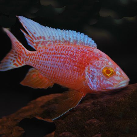 Red eye strawberry peacock 4 6cm rock dwelling for Aggressive fish for sale