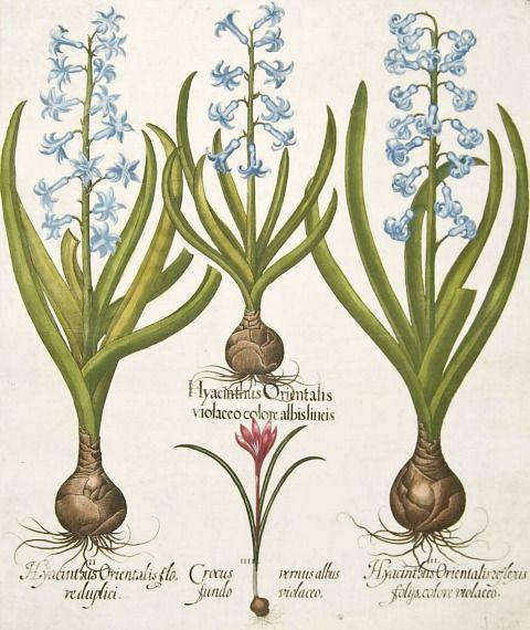 Basilius Besler, hyacinth and crocus, 1640  www.perugiaflowershow.com