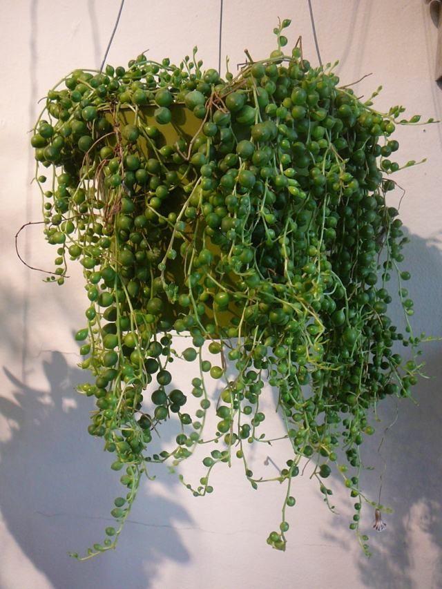 plante grasse suspension