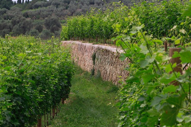The Allegrini vineyard with historic rock walls. #nature #photography